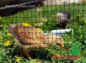 ChickenMalla poultry netting with chicks in organic grass fed farming