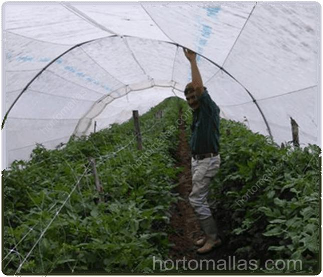 Tutoramento de Tomate sob um macro-túnel feito com invernavelo.