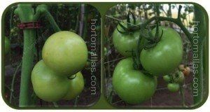 tomato with raffia or trellis net