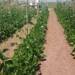 Trellis net and crop rotation