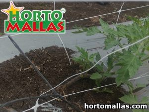 Tomato plant with trellis netting