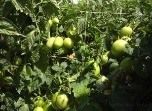 prevent tomato fungal diseases