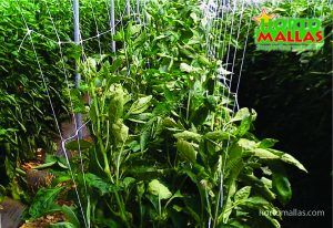Crops of Chile and Tomatoes are very subject to infection transmitted mechanically by the same workers.