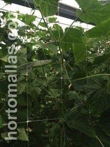 pepino con malla para cultivo