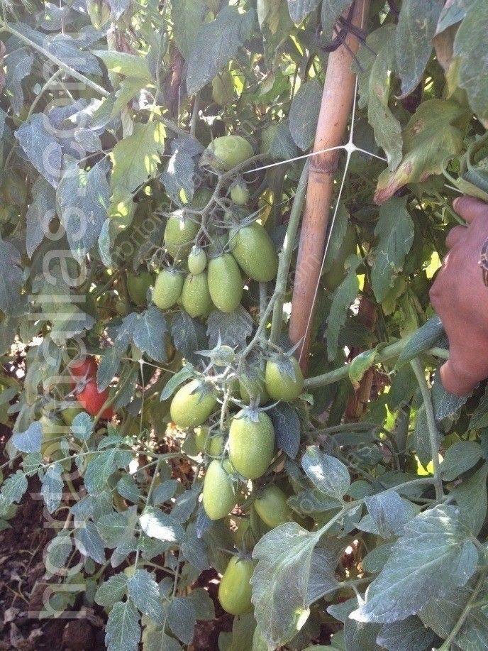 Enfermedades f ngicas del tomate hongos pat genos - Cuando plantar tomates ...