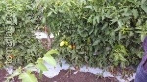 Tutoring tomato plants with trellis net