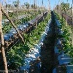 agriculture with trellis net