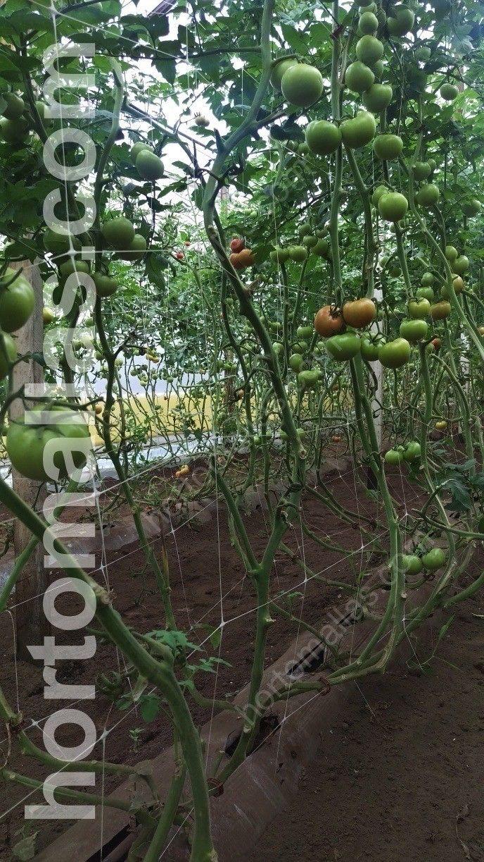 tutoreo de tomate
