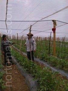 envarado de tomates