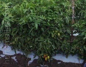 entutorado de tomates en campo abierto