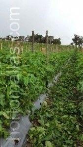 entutorar tomates en campo abierto con malla tutora facilita la poda.