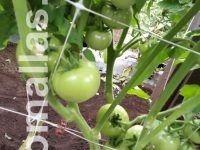 Rete per il supporto di ortaggi HORTOMALLAS, usata nel pomodoro
