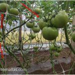 hydroponic tomato with trellis net