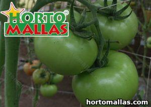 Trellises on tomato crops