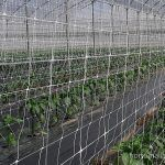 chili peppers with trellis net