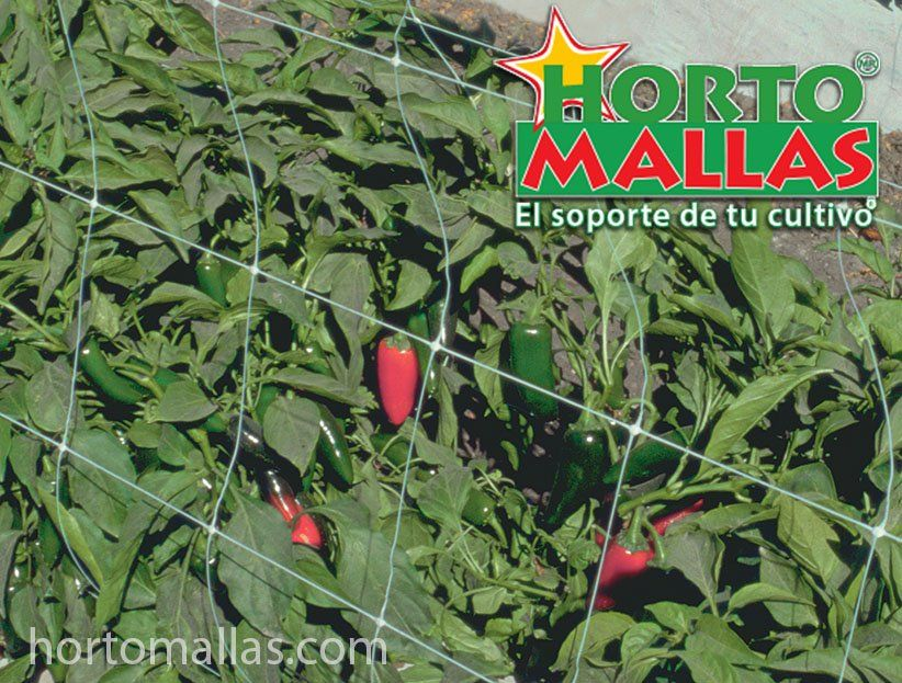 Chili pepper growing using HORTOMALLAS trellises