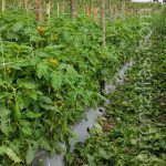 tomato crop with HORTOMALLAS