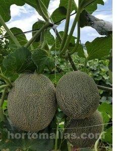 melones con red espaldera