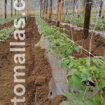 tomato plants with trellis net