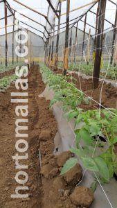 tomato plants with trellis net