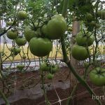 hydroponic tomatoes with HORTOMALLAS
