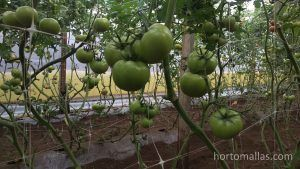 hydroponic tomatos with HORTOMALLAS