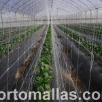 double walled trellis net in pepper plants