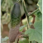 cucumber botrytis