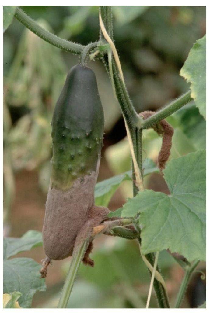 pepino afetado por Botrytis