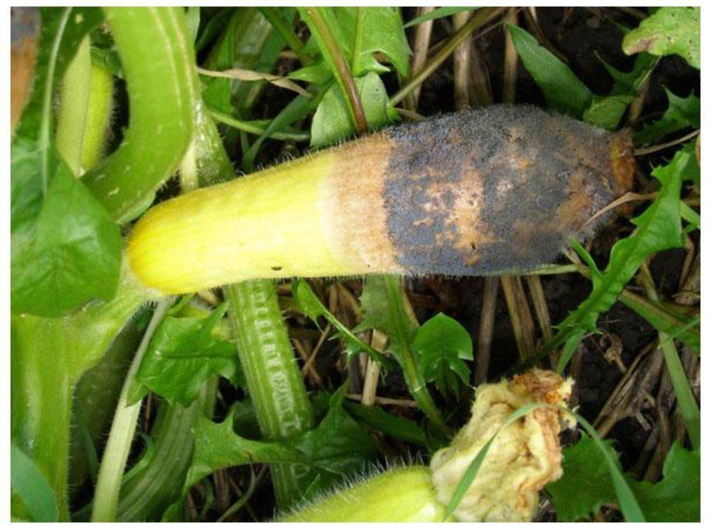 Pepino imaturo/verde afetado pela «podridão cinzenta», como comummente se conhece a doença causada pela Botrytis cinerea.