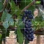 Grape protected with GUACAMALLAS® bird barrier