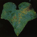 Angular leaf spot lesions on cucumber leaf