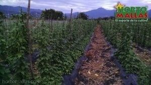 green bean crops with netting