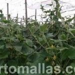 cucumber crops with trellis net