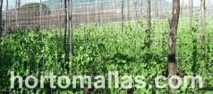 bean plants with trellis net