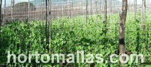 bean plants with trellis net