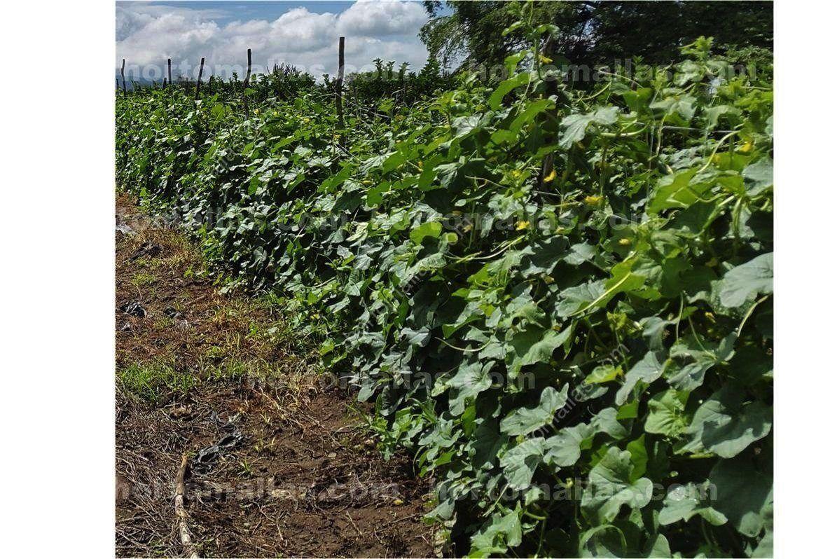 La rete per il sostegno di meloni come forma di aumentare for Melone coltivazione