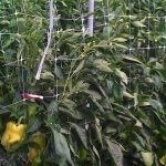 pepper plants with trellis net