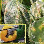 Mancha bacteriana é uma doença de pimenta
