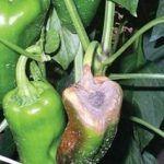 doenças de pimenta
