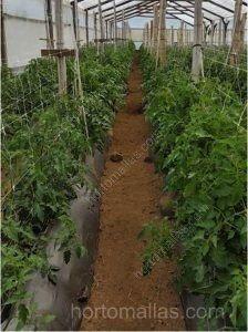 Tutorado de tomates en invernadero
