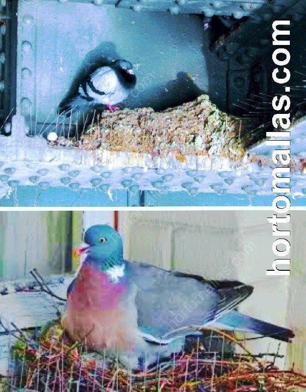 Ineficiencia de Pinchos contra palomas; palomas con nidos sobre los pinchos contra palomas