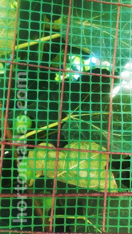 Malla portarosa protegiendo frutas de higo de aves y personas