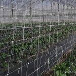 cultivo de pimenta com malha tutora