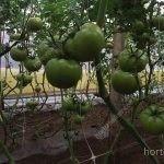 produção de tomate com malha treliçã