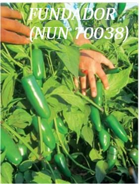 semillas de chiles