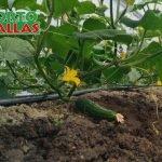 cultivo de pepino con HORTOMALLA