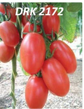 tomatera en invernadero