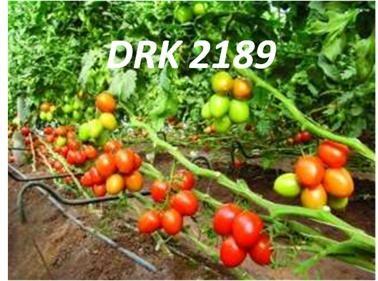 cultivo tomatero