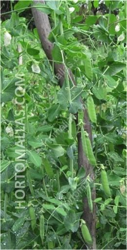 planta de ejotes